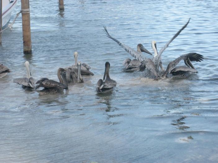 Belize_pelikaanit