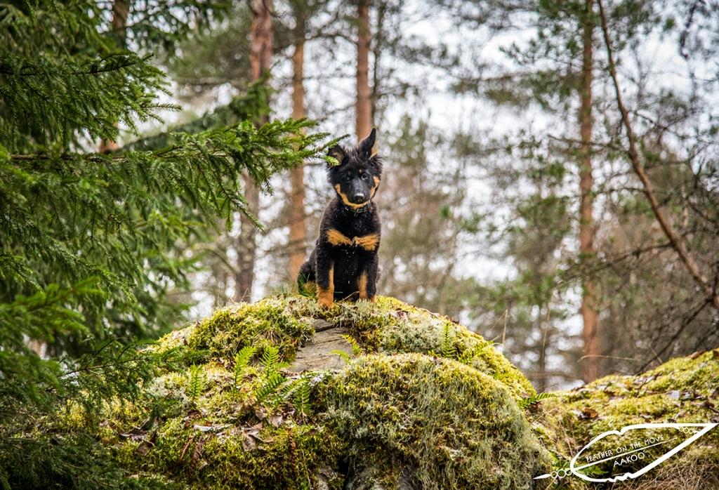Eddie-koiranpentu // Kuva: Anna-Kaisa Noki-Helmanen, @featheronthemove_photography